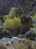 California Fan Palms and Cottonwoods, Guadalupe Canyon, Baja California, Mexico Photographic Print by David Cavagnaro