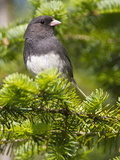 Dark-Eyed Junco (Junco Hyemalis), New Hampshire, USA Photographic Print by John Abbott