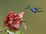 Violet-Bellied Hummingbird (Damophila Julie) Feeding at a Flower While Flying, Bueneventura Lodge Photographic Print by Glenn Bartley