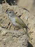 Green-Tailed Towhee (Pipilo Chlorurus) in Oregon, USA Photographic Print by Glenn Bartley