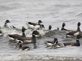 Brant Goose (Branta Bernicla) Near the Coast in Victoria, British Columbia, Canada Photographic Print by Glenn Bartley