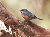 Giant Conebill (Oreomanes Fraseri) Singing on a Branch in a Polylepis Forest Photographic Print by Glenn Bartley