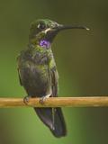 Black-Throated Brilliant (Heliodoxa Schreibersii) Perched on a Branch at the Wildsumaco Reserve Photographic Print by Glenn Bartley