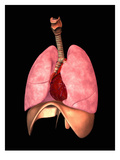 Biomedical Illustration of the Human Trachea, Bronchi, Lungs, Diaphragm and Heart Giclee Print by Scott Camazine