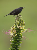 Black Flowerpiercer (Diglossa Humerialis) Perched on a Flower, Papallacta Pass in the Highlands Photographic Print by Glenn Bartley