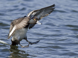 Male Lesser Scaup (Aythya Affinis) Landing, Victoria, BC, Canada Photographic Print by Glenn Bartley