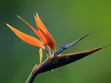 Bird of Paradise Flower (Strelitzia), Costa Rica Photographic Print by Gregory Basco