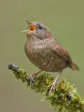Winter Wren (Troglodytes Troglodytes) Perched on a Branch in Victoria, BC, Canada Photographic Print by Glenn Bartley