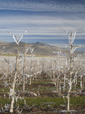 Frost Covered Pear Orchard in Winter, Oregon Photographic Print by Sean Bagshaw