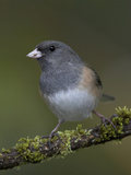 A Dark-Eyed Junco (Junco Hyemalis) Perches on a Mossy Branch in Victoria, British Columbia Photographie par Glenn Bartley