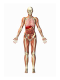 Illustration of a Man Showing the Respiratory, Skeletal, Digestive, and Muscular Systems Giclee Print by Scott Camazine