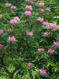 Rhododendrons in Bloom, Japanese Garden, Portland, Oregon, USA Photographic Print by David Cobb