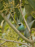 Black-Capped Tanager (Tangara Heinei) Perched on a Branch, Tandayapa Valley, Ecuador Photographic Print by Glenn Bartley