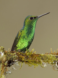 Western Emerald Hummingbird (Chlorostilbon Melanorhyncus) Perched, Tandayapa Bird Lodge Photographic Print by Glenn Bartley