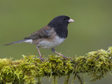 Dark-Eyed Junco (Junco Hyemalis) Perched on a Mossy Branch in Victoria, British Columbia, Canada Reproduction photographique par Glenn Bartley