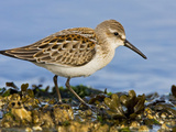Western Sandpiper (Calidris Mauri) Along the Shoreline, Victoria, British Columbia, Canada Photographic Print by Glenn Bartley