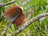 Hoatzin (Opisthocomus Hoazin) Perched on a Branch, Napo River in Amazonian Ecuador Photographic Print by Glenn Bartley