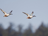 Northern Shoveler (Anas Clypeata) Flying, Victoria, BC, Canada Photographic Print by Glenn Bartley