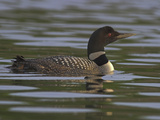 Common Loon (Gavia Immer) Swimming on a Lake in Ontario, Canada Photographic Print by Glenn Bartley