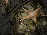 Leather Star (Dermasterias Imbricata) in a Tide Pool, Enderts Beach, Redwood National Park Photographic Print by David Cobb