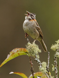 Rufous-Collared Sparrow (Zonotrichia Capensis) Perched on a Branch and Vocalizing Photographic Print by Glenn Bartley