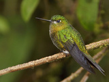Golden-Breasted Puffleg (Eriocnemis Mosquera) Perched on a Branch at the Yanacocha Reserve Photographic Print by Glenn Bartley