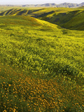 Spring Wildflowers in Lost Hills, California, USA Photographic Print by David Cobb