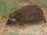 South African Hedgehog (Atelerix Frontalis), South Africa Photographic Print by John Abbott