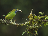 Emerald Toucanet (Aulacorhynchus Prasinus), Costa Rica Photographic Print by Gregory Basco