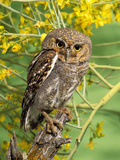 Elf Owl, (Micrathene Whitneyi) Tortalita Mtns, Tucson, Arizona, USA, Captive Photographic Print by Rick & Nora Bowers