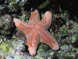 Cushion or Granulated Sea Star (Choriaster Granulatus), Papua New Guinea Photographic Print by Hal Beral