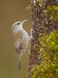 Bewick's Wren (Thryomanes Bewickii) Perched, Victoria, BC, Canada Photographic Print by Glenn Bartley