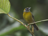 Dusky-Faced Tanager (Mitrospingus Cassinii) Perched on a Branch at the Rio Palenque Reserve Photographie par Glenn Bartley