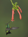 Western Emerald Hummingbird (Chlorostilbon Melanorhyncus) Feeding at a Flower While Hovering Photographic Print by Glenn Bartley