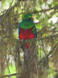 Resplendent Quetzal, Costa Rica Photographic Print by Glenn Bartley