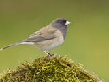 Dark Eyed Junco (Junco Hyemalis) Perched on a Branch in Victoria, British Columbia, Canada Photographic Print by Glenn Bartley