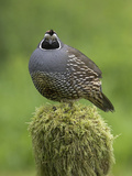 California Quail (Callipepla Californica) Perched on a Mossy Tree Stump in Victoria Photographie par Glenn Bartley