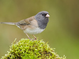 Dark Eyed Junco (Junco Hyemalis) Perched on a Rock, Victoria, BC, Canada Photographic Print by Glenn Bartley