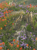 Penstemon and Indian Paintbrush Wildflowers Photographic Print by David Cobb