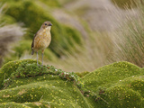 Tawny Antpitta (Grallaria Quitensis) Perched on Paramo Vegetation in the Highlands of Ecuador Photographic Print by Glenn Bartley