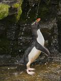 Rockhopper Penguin Photographic Print by David Cobb