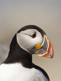 Atlantic Puffin (Fratercula Arctica), Maine, USA Photographic Print by John Abbott