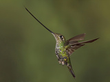 Sword-Billed Hummingbird (Ensifera Ensifera), Flying at Guango Lodge, Ecuador Photographic Print by Glenn Bartley