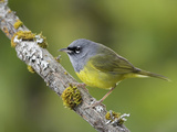 Macgillivray's Warbler (Oporornis Tolmiei) Perched on a Branch, Victoria, British Columbia, Canada Photographic Print by Glenn Bartley