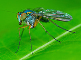 Long-Legged Fly Photographic Print by Tan Chuan-Yean