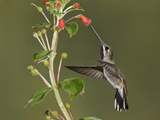 Long-Billed Starthroat (Heliomaster Longirostris) Hovering and Feeding at a Red, Tubular Flower Photographic Print by Glenn Bartley