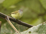 Brown-Capped Vireo (Vireo Leucophrys) Perched on a Branch, Tandayapa Valley, Ecuador Photographic Print by Glenn Bartley