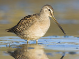 Long-Billed Dowitcher (Limnodromus Scolopaceus) Feeding in Shallow Water, Victoria Photographic Print by Glenn Bartley