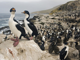 King Shag or Cormorant(Phalacrocorax Atriceps Albiventer) Nesting Colony, Falkland Islands Photographie par David Cobb