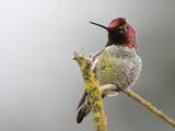 Anna's Hummingbird Male (Calypte Anna), Victoria, British Columbia, Canada Photographic Print by Glenn Bartley